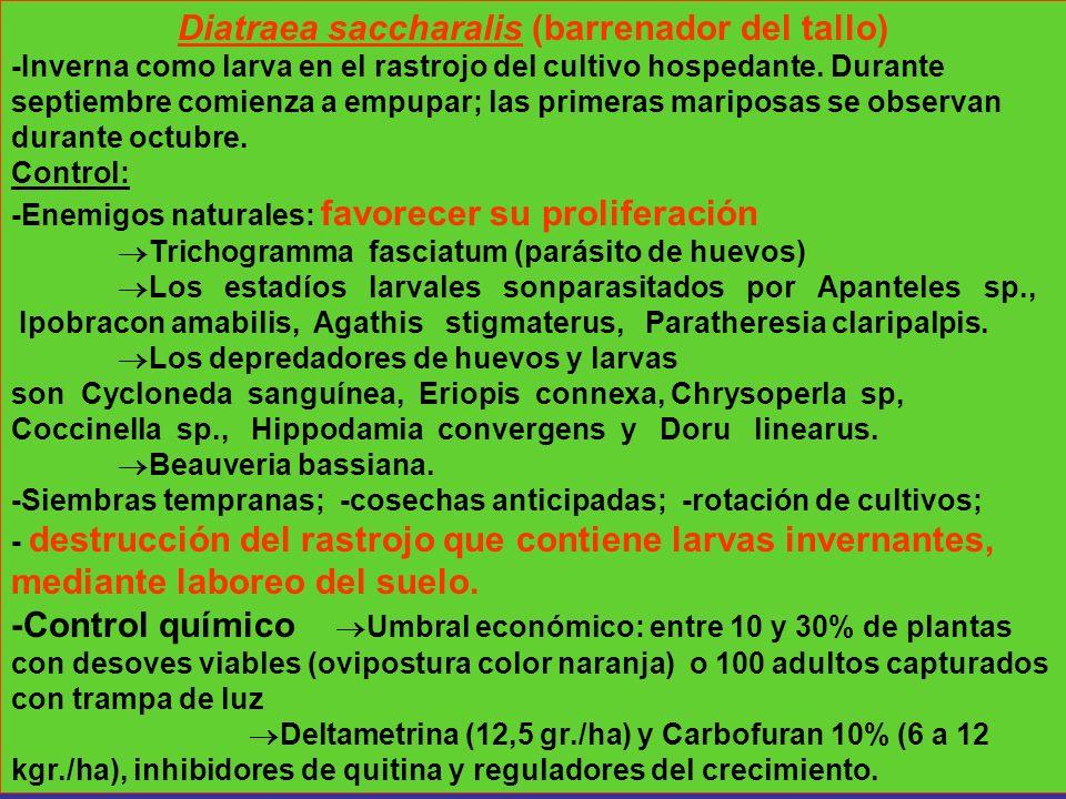 Diatraea saccharalis (barrenador del tallo) -Inverna como larva en el rastrojo del cultivo hospedante. Durante septiembre comienza a empupar; las prim