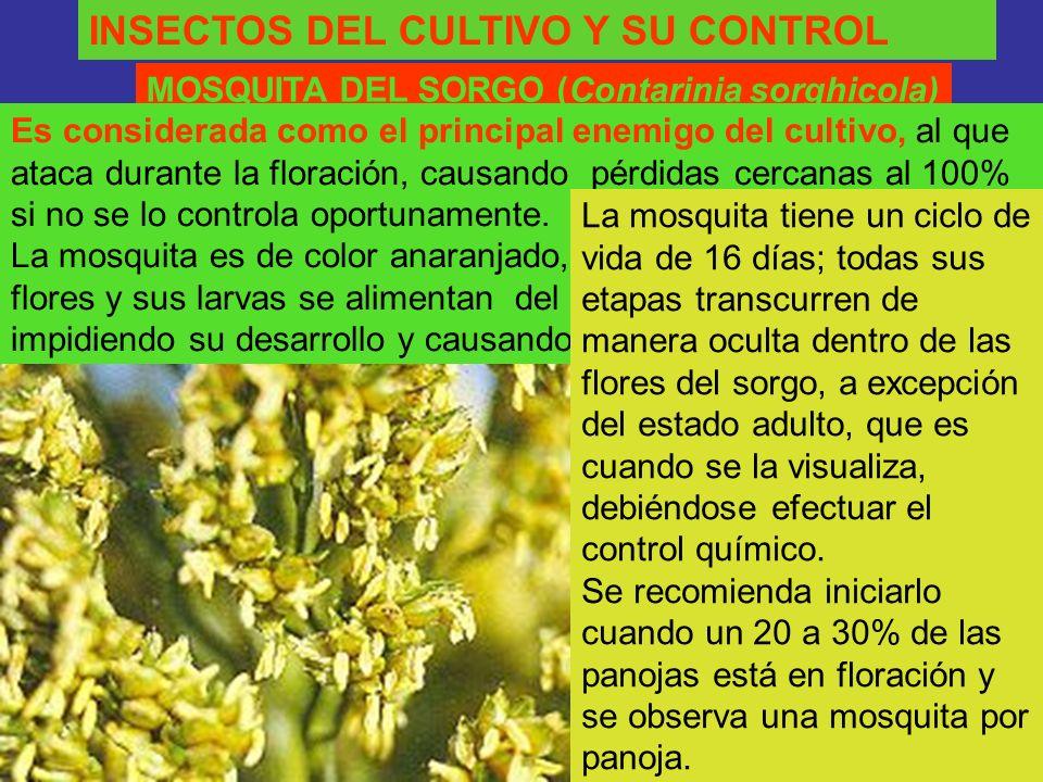 INSECTOS DEL CULTIVO Y SU CONTROL MOSQUITA DEL SORGO (Contarinia sorghicola) Es considerada como el principal enemigo del cultivo, al que ataca durant