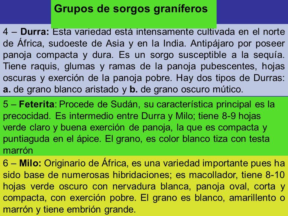 4 – Durra: Esta variedad está intensamente cultivada en el norte de África, sudoeste de Asia y en la India. Antipájaro por poseer panoja compacta y du