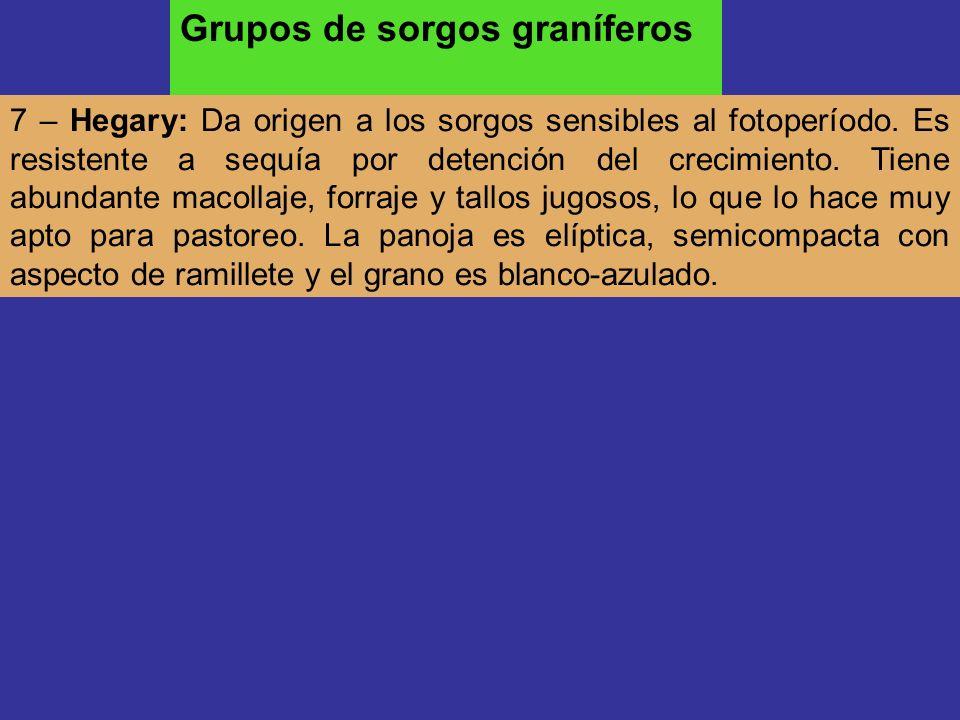 7 – Hegary: Da origen a los sorgos sensibles al fotoperíodo. Es resistente a sequía por detención del crecimiento. Tiene abundante macollaje, forraje
