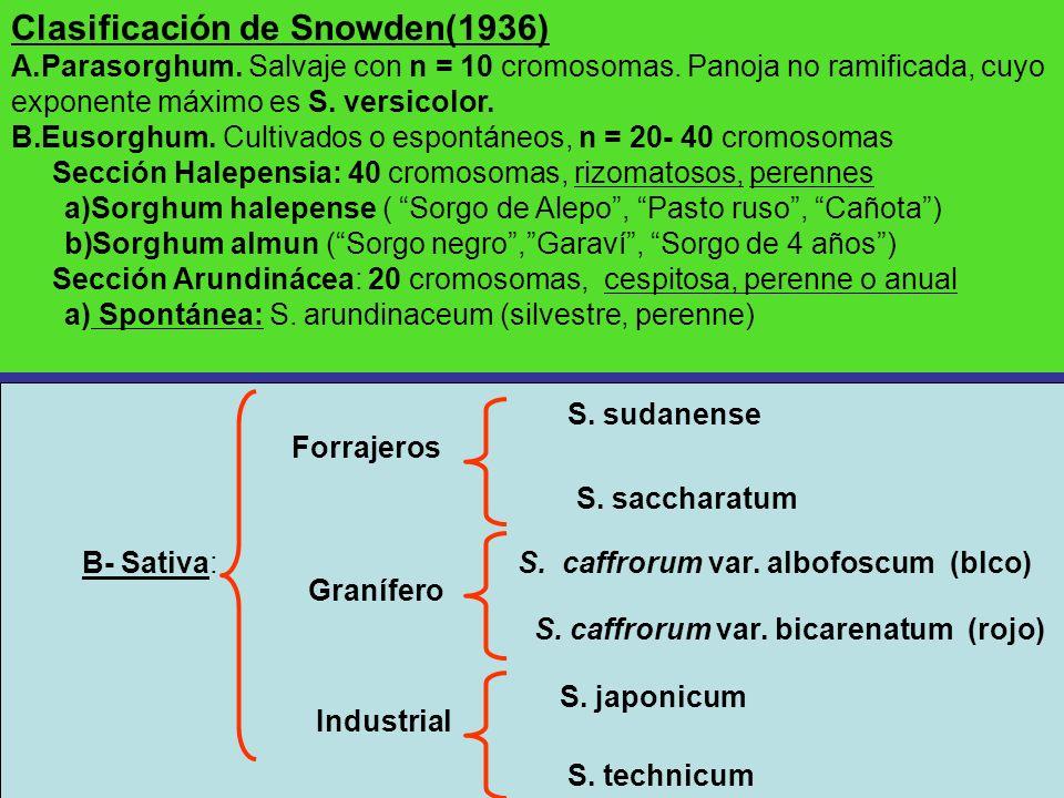 Clasificación de Snowden(1936) A.Parasorghum. Salvaje con n = 10 cromosomas. Panoja no ramificada, cuyo exponente máximo es S. versicolor. B.Eusorghum