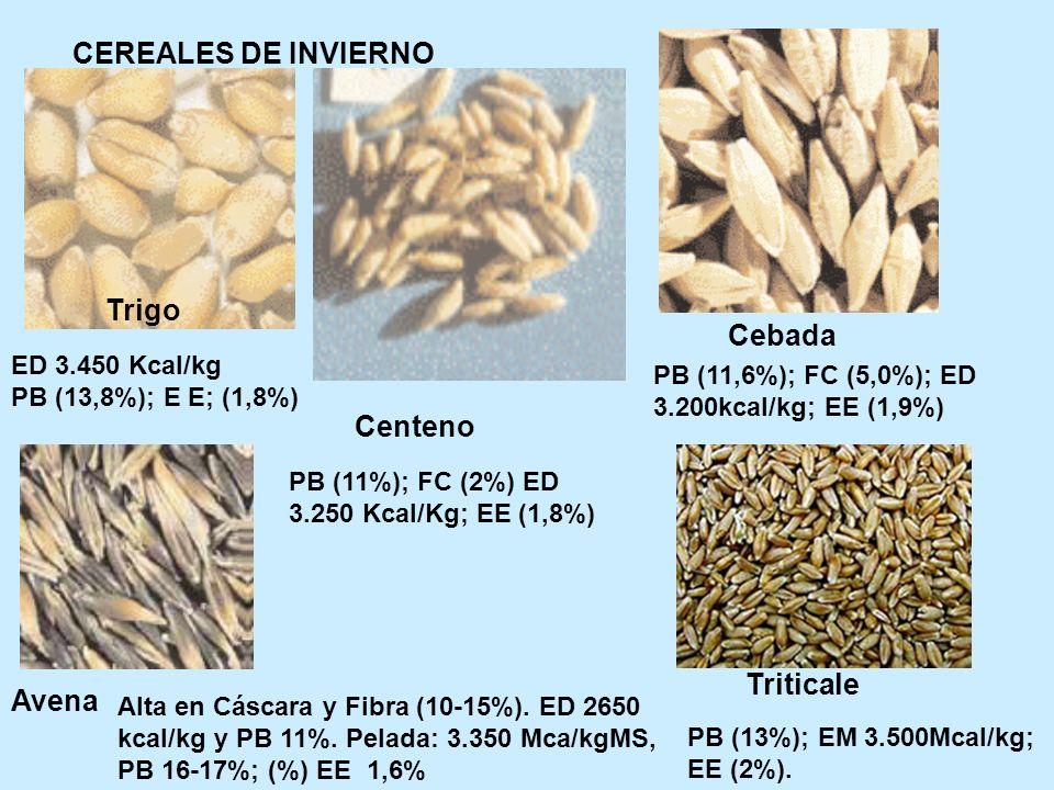CEREALES DE INVIERNO Trigo Centeno Cebada Avena Triticale PB (11,6%); FC (5,0%); ED 3.200kcal/kg; EE (1,9%) PB (11%); FC (2%) ED 3.250 Kcal/Kg; EE (1,