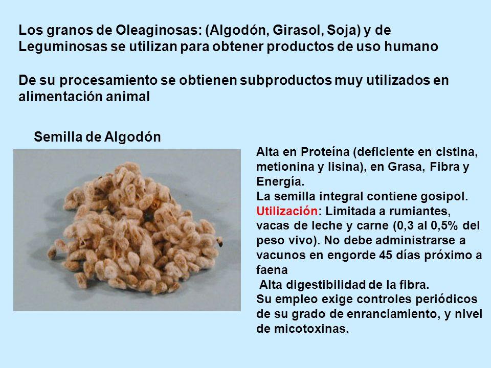 Los granos de Oleaginosas: (Algodón, Girasol, Soja) y de Leguminosas se utilizan para obtener productos de uso humano De su procesamiento se obtienen