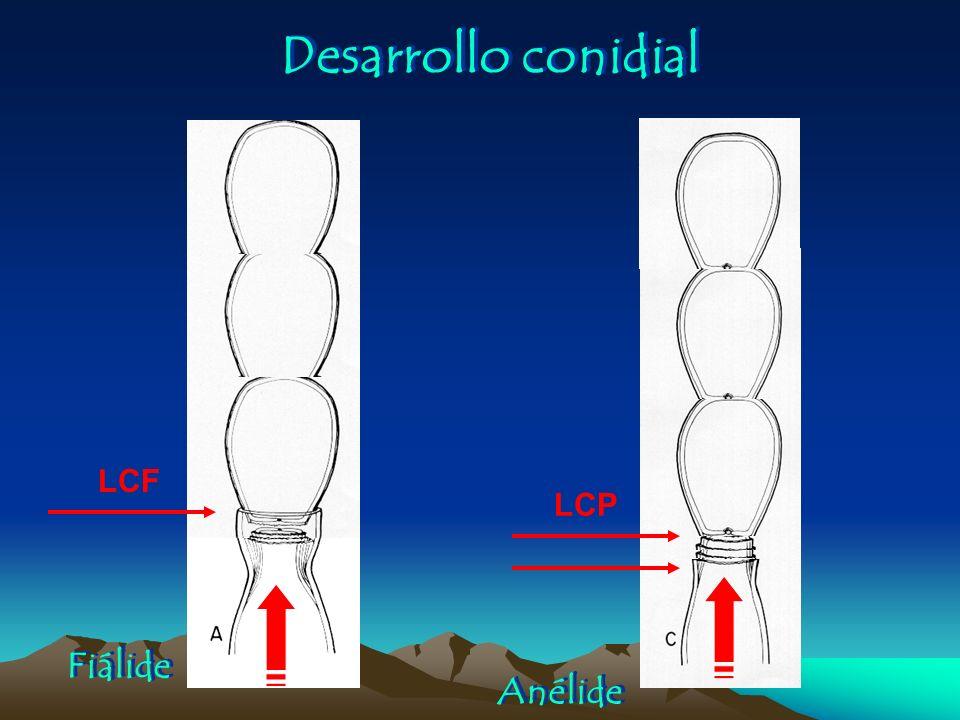 Desarrollo conidial Fiálide Anélide LCP LCF