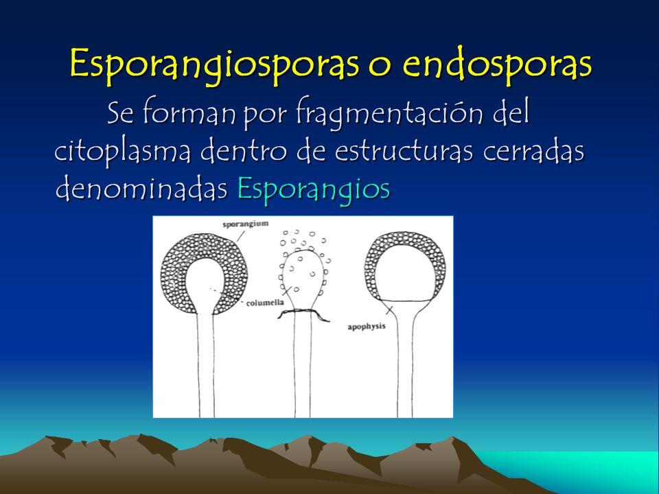 Esporangiosporas o endosporas Se formanpor fragmentación del citoplasma dentro de estructuras cerradas denominadas Esporangios Se forman por fragmenta