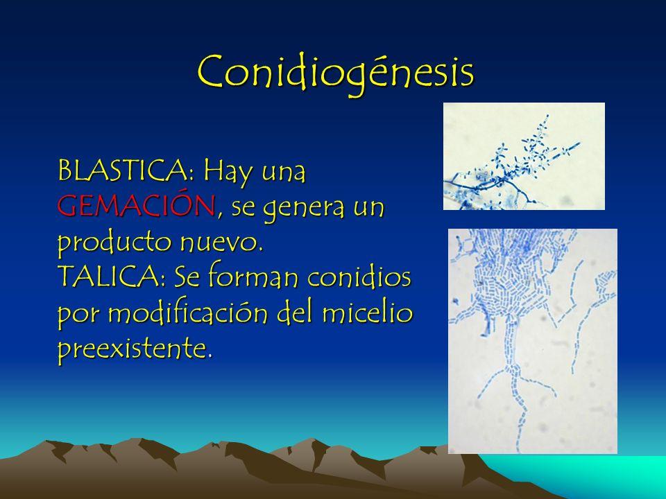 Conidiogénesis blástica Holoblástica: En su desarrollo se involucran todas las paredes celulares (Inflar un balón) Enteroblástico: El conidio sale a través de una abertura, se rodea de una nueva pared y deja una cicatriz.