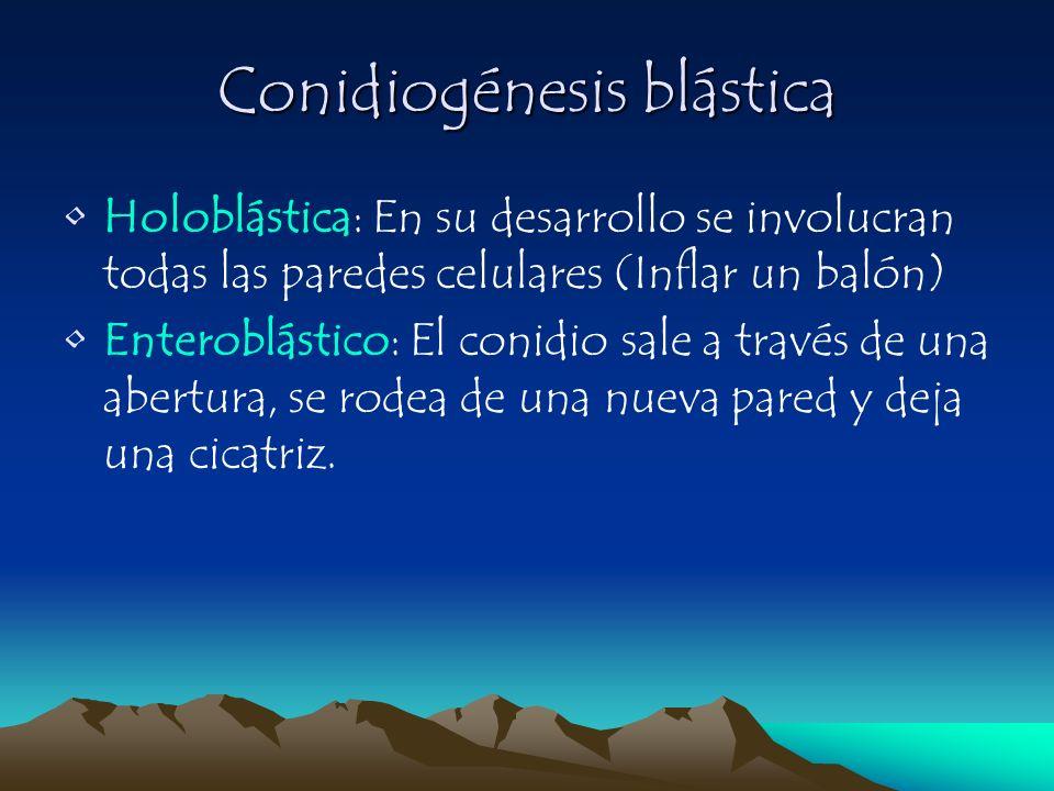 Conidiogénesis blástica Holoblástica: En su desarrollo se involucran todas las paredes celulares (Inflar un balón) Enteroblástico: El conidio sale a t
