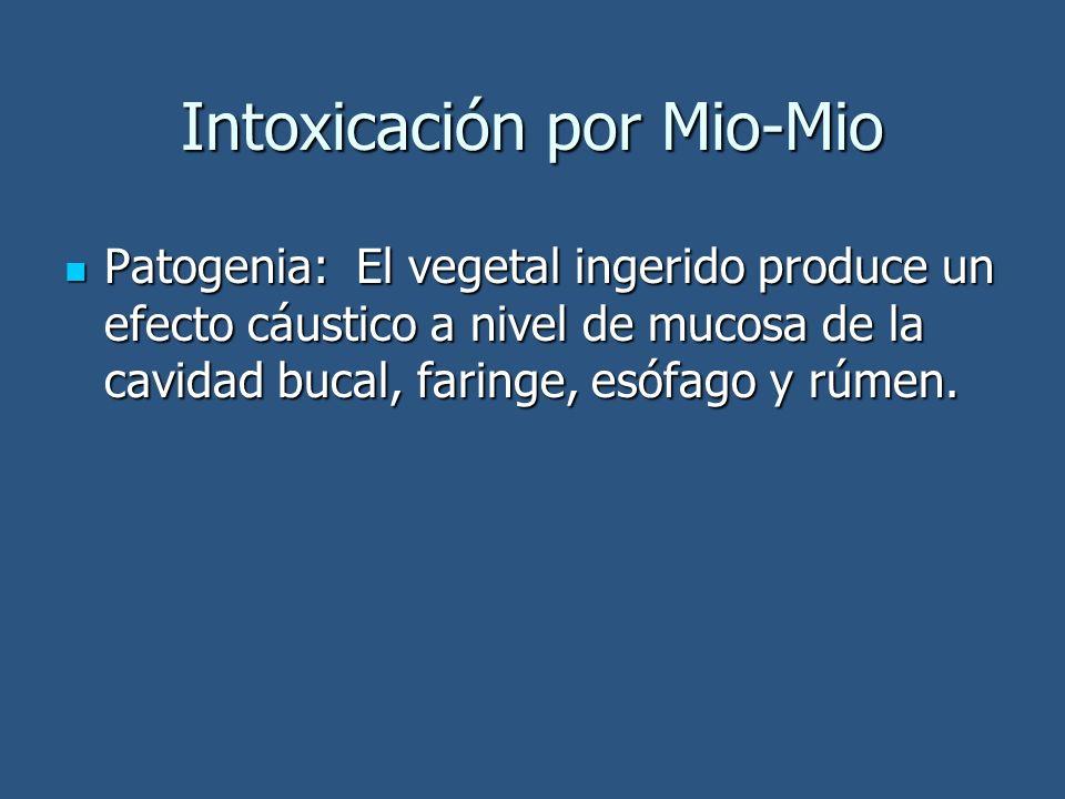Intoxicación por Mio-Mio Patogenia: El vegetal ingerido produce un efecto cáustico a nivel de mucosa de la cavidad bucal, faringe, esófago y rúmen. Pa