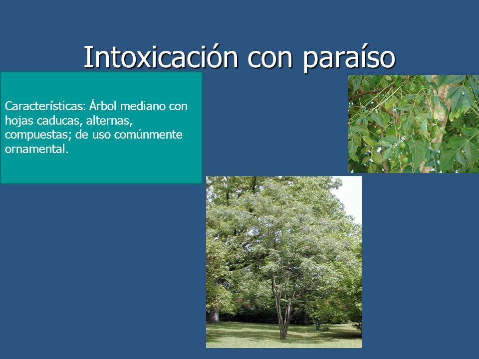 Intoxicación con paraíso Características: Árbol mediano con hojas caducas, alternas, compuestas; de uso comúnmente ornamental.