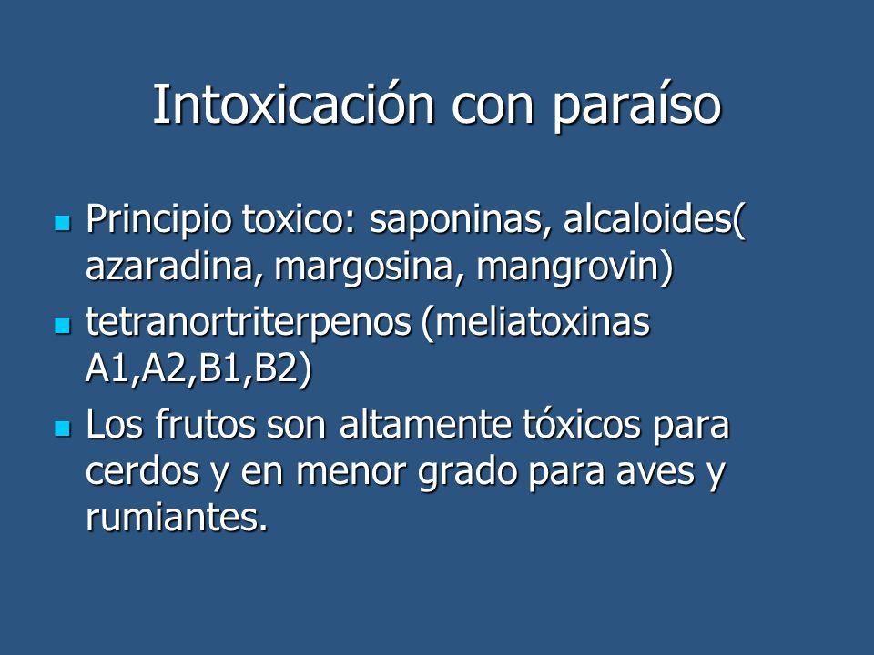 Intoxicación con paraíso Principio toxico: saponinas, alcaloides( azaradina, margosina, mangrovin) Principio toxico: saponinas, alcaloides( azaradina, margosina, mangrovin) tetranortriterpenos (meliatoxinas A1,A2,B1,B2) tetranortriterpenos (meliatoxinas A1,A2,B1,B2) Los frutos son altamente tóxicos para cerdos y en menor grado para aves y rumiantes.