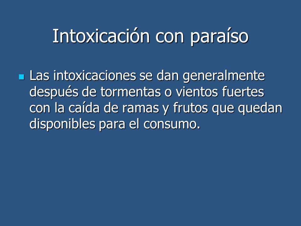 Intoxicación con paraíso Las intoxicaciones se dan generalmente después de tormentas o vientos fuertes con la caída de ramas y frutos que quedan disponibles para el consumo.
