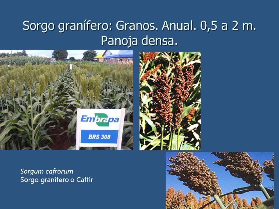 Sorgo granífero: Granos. Anual. 0,5 a 2 m. Panoja densa. Sorgum cafrorum Sorgo granifero o Caffir