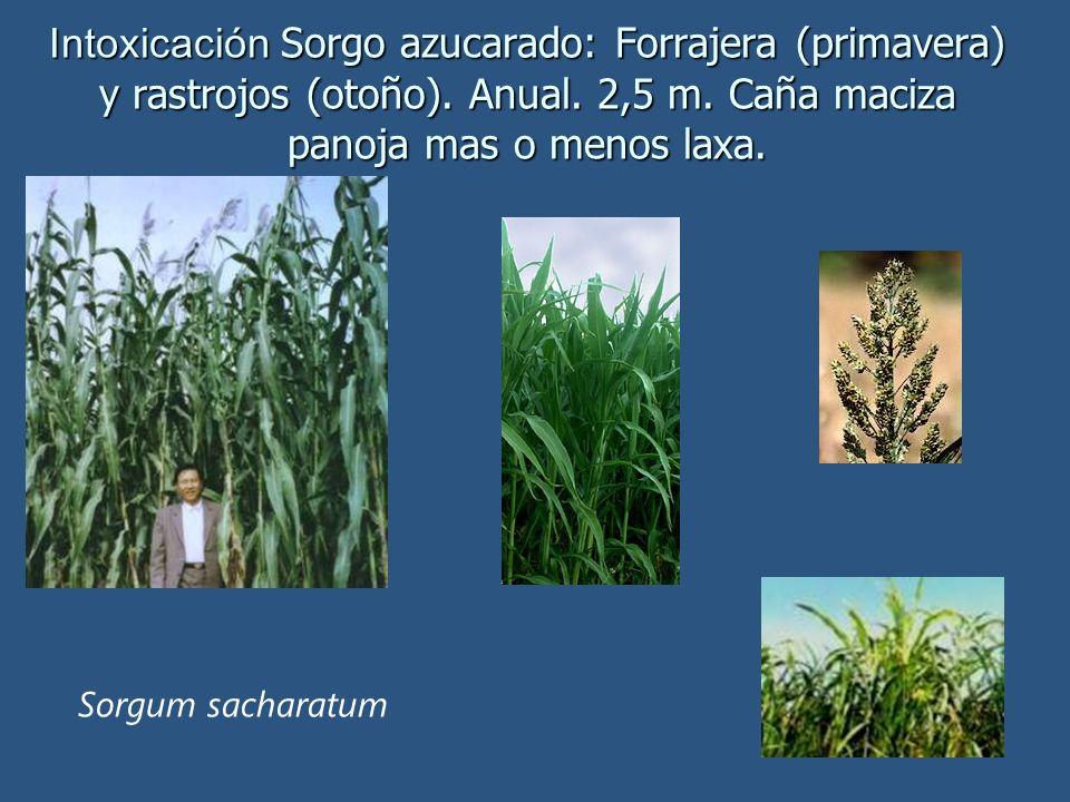 Intoxicación Sorgo azucarado: Forrajera (primavera) y rastrojos (otoño). Anual. 2,5 m. Caña maciza panoja mas o menos laxa. Sorgum sacharatum