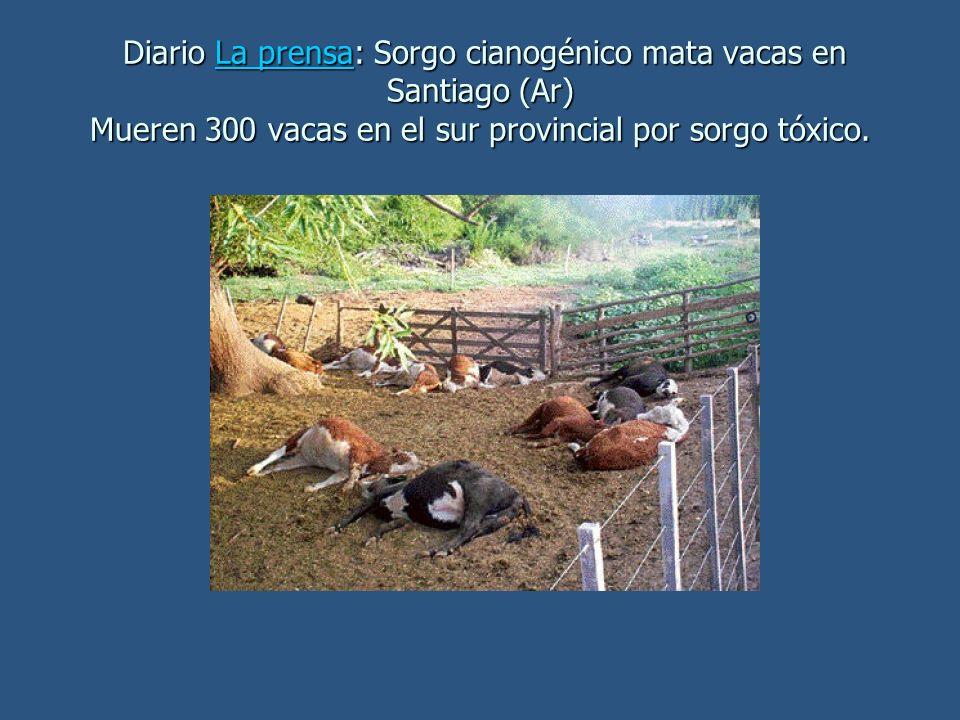 Diario La prensa: Sorgo cianogénico mata vacas en Santiago (Ar) Mueren 300 vacas en el sur provincial por sorgo tóxico. Diario La prensa: Sorgo cianog