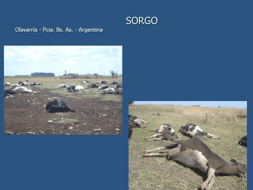 SORGO Olavarría - Pcia. Bs. As. - Argentina SORGO Olavarría - Pcia. Bs. As. - Argentina