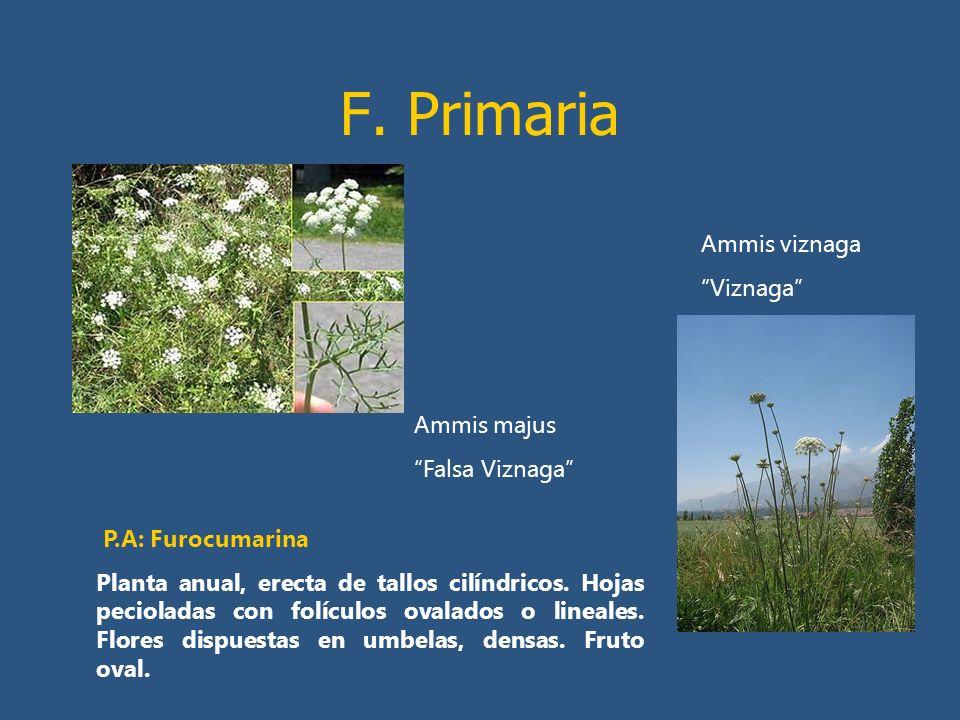 F. Primaria Ammis majus Falsa Viznaga P.A: Furocumarina Planta anual, erecta de tallos cilíndricos. Hojas pecioladas con folículos ovalados o lineales