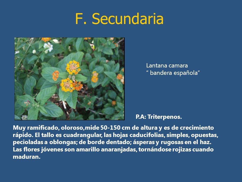 F. Secundaria P.A: Triterpenos. Muy ramificado, oloroso,mide 50-150 cm de altura y es de crecimiento rápido. El tallo es cuadrangular, las hojas caduc