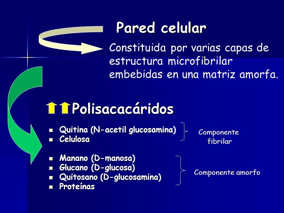Pared celular Quitina (N-acetil glucosamina) Quitina (N-acetil glucosamina) Celulosa Celulosa Manano (D-manosa) Manano (D-manosa) Glucano (D-glucosa) Glucano (D-glucosa) Quitosano (D-glucosamina) Quitosano (D-glucosamina) Proteínas Proteínas Componente fibrilar Componente amorfo Polisacacáridos Polisacacáridos Constituida por varias capas de estructura microfibrilar embebidas en una matriz amorfa.
