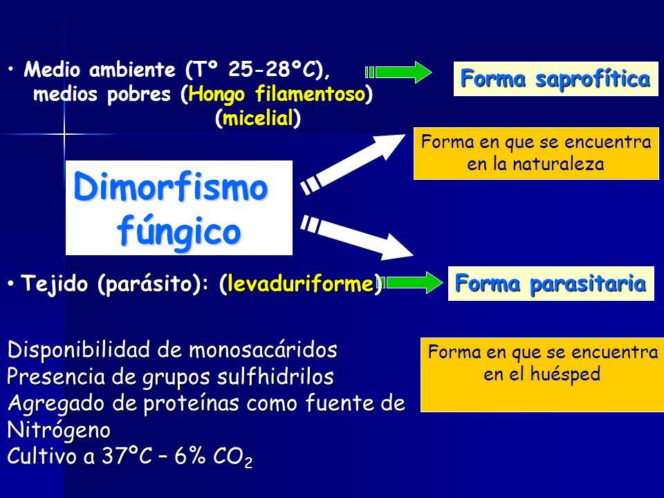 Medio ambiente (Tº 25-28ºC), medios pobres (Hongo filamentoso) (micelial) Forma parasitaria Forma saprofítica Tejido (parásito): (levaduriforme) Tejido (parásito): (levaduriforme) Forma en que se encuentra en la naturaleza Forma en que se encuentra en el huésped Disponibilidad de monosacáridos Presencia de grupos sulfhidrilos Agregado de proteínas como fuente de Nitrógeno Cultivo a 37ºC – 6% CO 2 Dimorfismofúngico