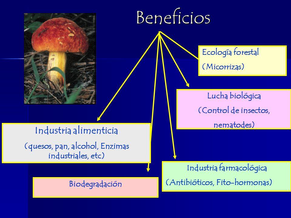 Beneficios Beneficios Biodegradación Industria farmacológica (Antibióticos, Fito-hormonas) Industria alimenticia (quesos, pan, alcohol, Enzimas industriales, etc) Lucha biológica (Control de insectos, nematodes) Ecología forestal (Micorrizas)