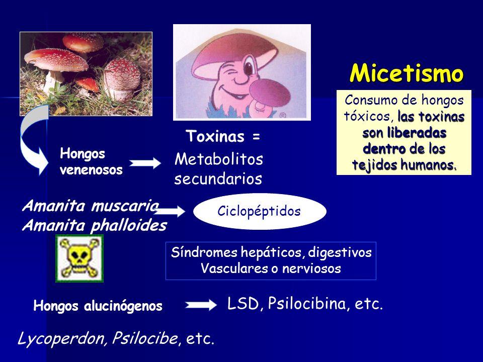Ciclopéptidos Toxinas = Metabolitos secundarios Amanita muscaria Amanita phalloides Síndromes hepáticos, digestivos Vasculares o nerviosos Hongos alucinógenos LSD, Psilocibina, etc.