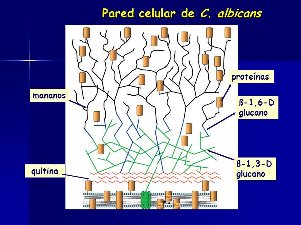 proteínas mananos ß-1,3-D glucano ß-1,6-D glucano quitina Pared celular de C. albicans