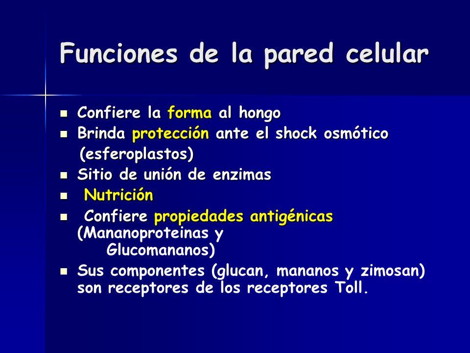 Funciones de la pared celular Confiere la forma al hongo Confiere la forma al hongo Brinda protección ante el shock osmótico Brinda protección ante el shock osmótico (esferoplastos) (esferoplastos) Sitio de unión de enzimas Sitio de unión de enzimas Nutrición Nutrición Confiere propiedades antigénicas ( Confiere propiedades antigénicas (Mananoproteinas y Glucomananos) Sus componentes (glucan, mananos y zimosan) son receptores de los receptores Toll.