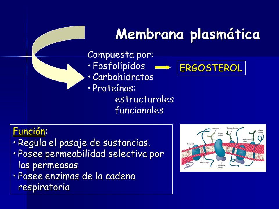 Membrana plasmática Compuesta por: Fosfolípidos Carbohidratos Proteínas: estructurales funcionales ERGOSTEROL Función: Regula el pasaje de sustancias.