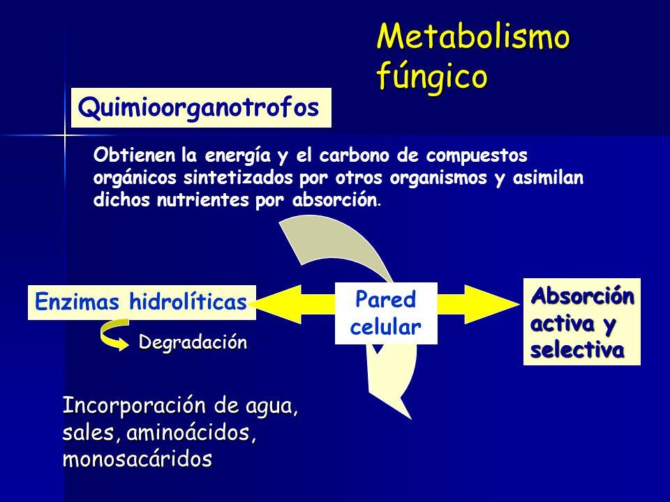 Quimioorganotrofos Obtienen la energía y el carbono de compuestos orgánicos sintetizados por otros organismos y asimilan dichos nutrientes por absorción.