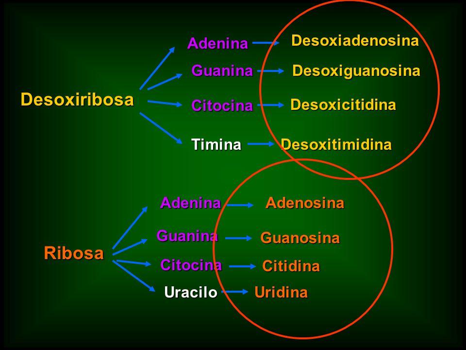 DesoxiribosaAdenina Guanina Citocina Timina Desoxiadenosina Desoxiguanosina Desoxicitidina DesoxitimidinaRibosaAdenina Guanina Citocina Uracilo Adenos