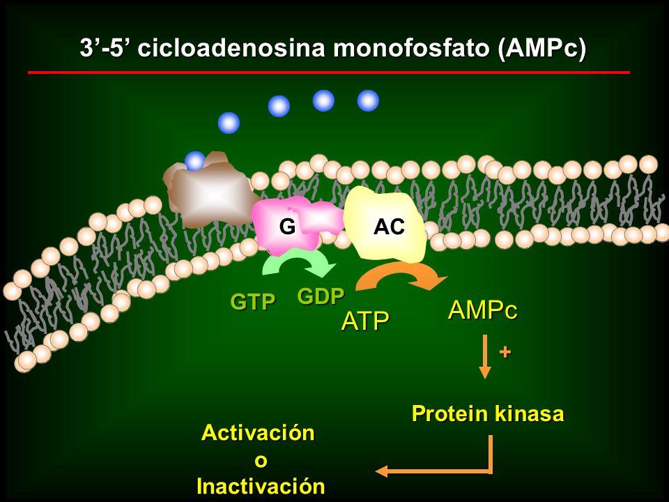 3-5 cicloadenosina monofosfato (AMPc) GTP GDP ATP AMPc + Protein kinasa ActivaciónoInactivación Rc G AC
