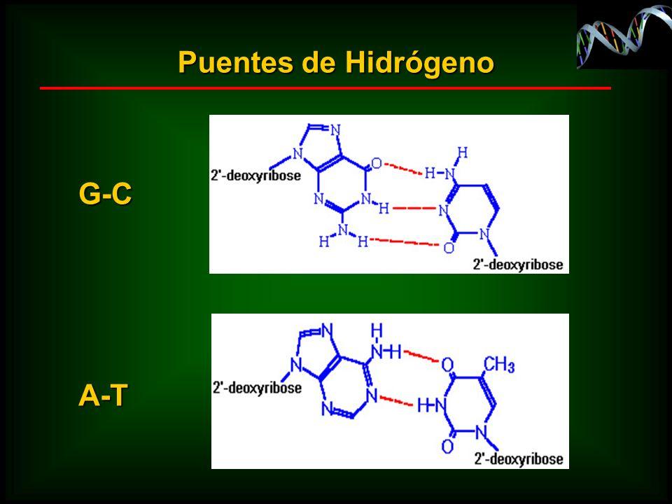 Puentes de Hidrógeno A-T G-C