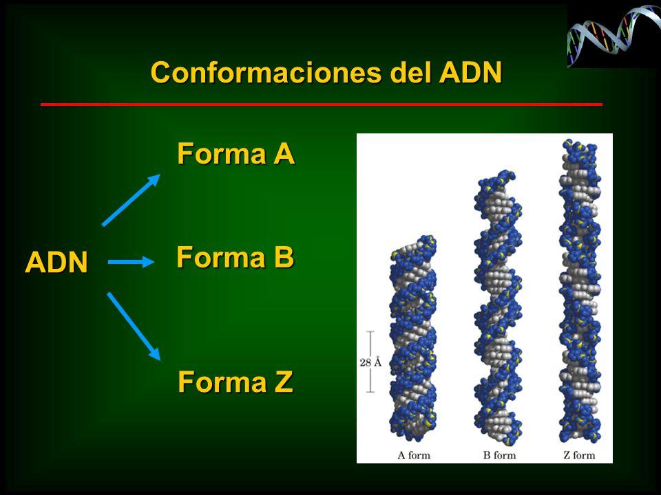 ADN Forma A Forma B Forma Z Conformaciones del ADN