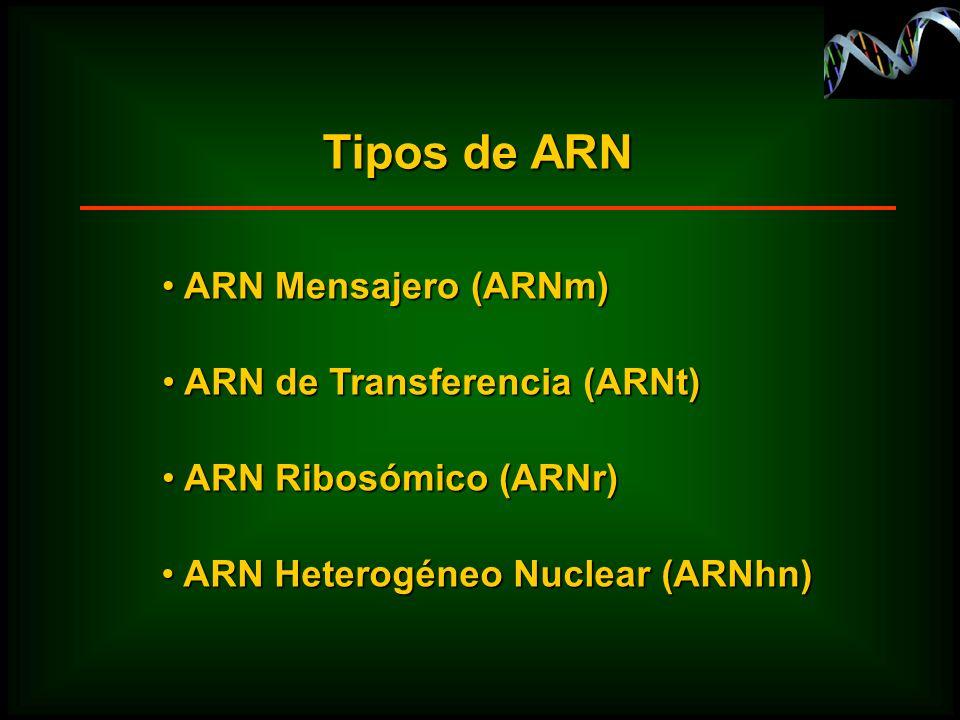 Tipos de ARN ARN Mensajero (ARNm) ARN Mensajero (ARNm) ARN de Transferencia (ARNt) ARN de Transferencia (ARNt) ARN Ribosómico (ARNr) ARN Ribosómico (A