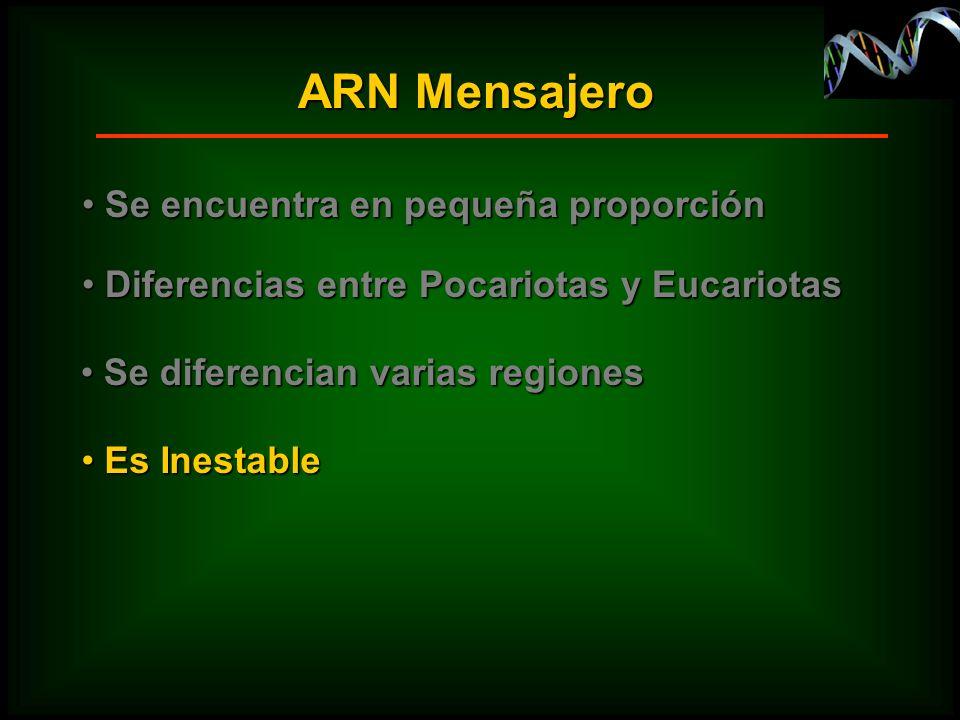 Es Inestable Es Inestable ARN Mensajero Se encuentra en pequeña proporción Se encuentra en pequeña proporción Diferencias entre Pocariotas y Eucariota