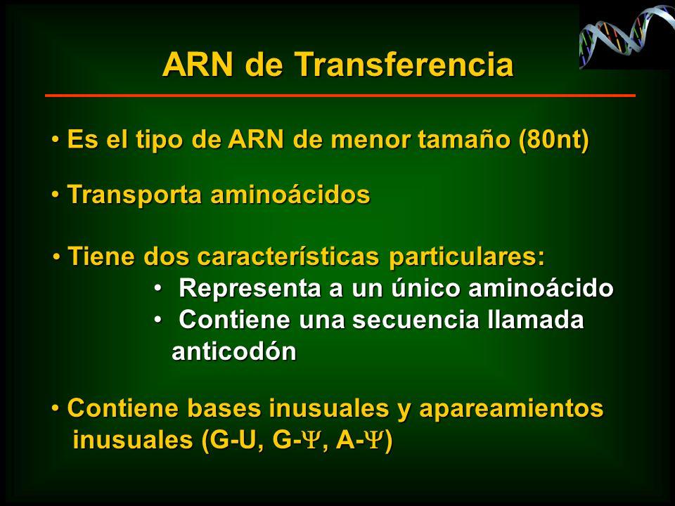 ARN de Transferencia Tiene dos características particulares: Tiene dos características particulares: Representa a un único aminoácido Representa a un