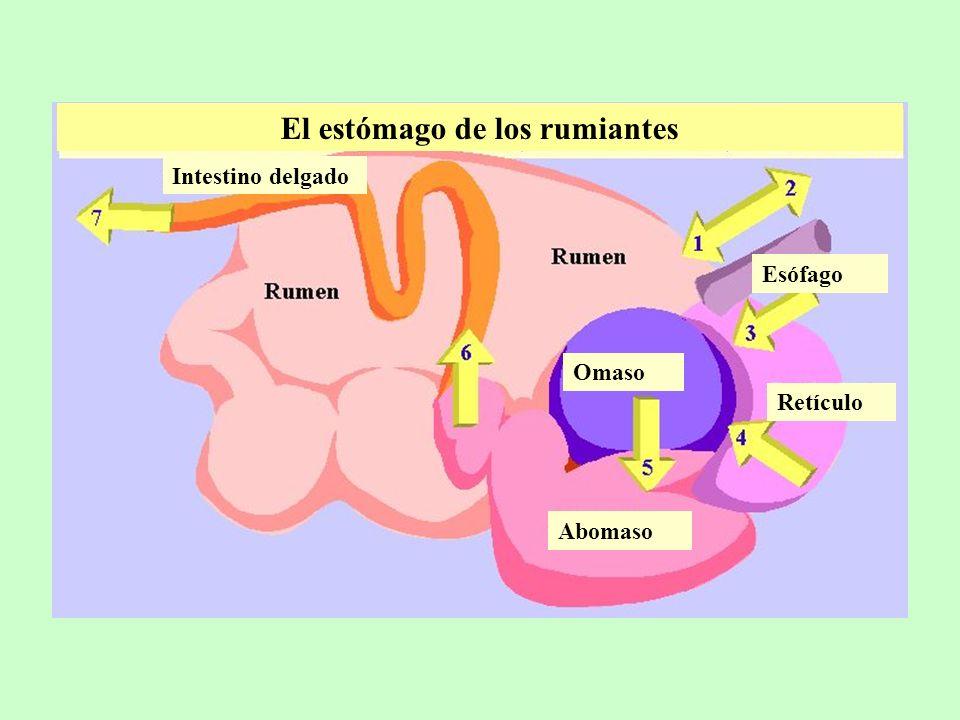 El estómago de los rumiantes Intestino delgado Abomaso Omaso Retículo Esófago
