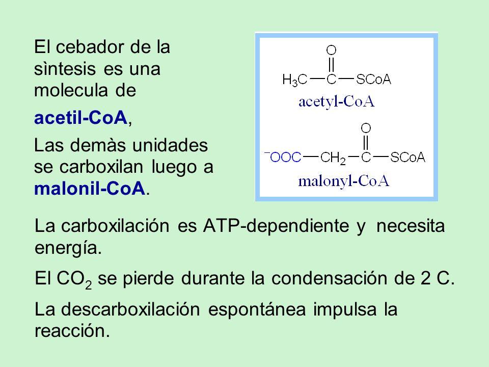 La carboxilación es ATP-dependiente y necesita energía. El CO 2 se pierde durante la condensación de 2 C. La descarboxilación espontánea impulsa la re