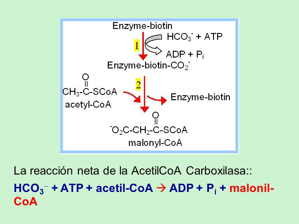 La reacción neta de la AcetilCoA Carboxilasa:: HCO 3 + ATP + acetil-CoA ADP + P i + malonil- CoA