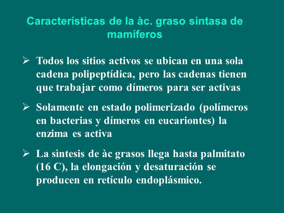 Características de la àc. graso sintasa de mamíferos Todos los sitios activos se ubican en una sola cadena polipeptídica, pero las cadenas tienen que