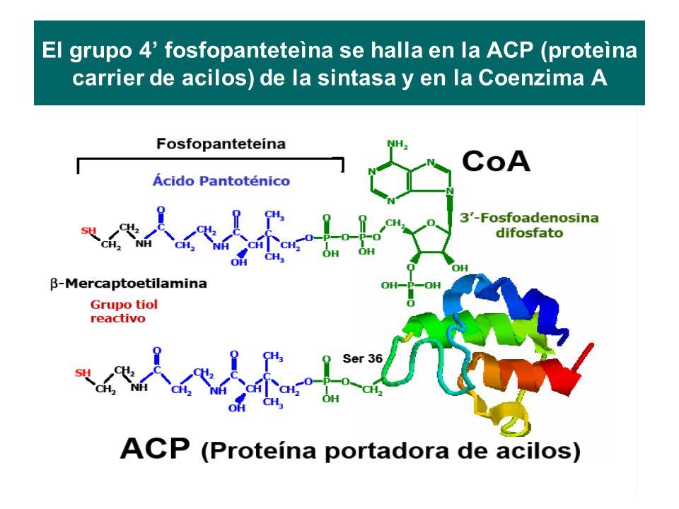 El grupo 4 fosfopanteteìna se halla en la ACP (proteìna carrier de acilos) de la sintasa y en la Coenzima A