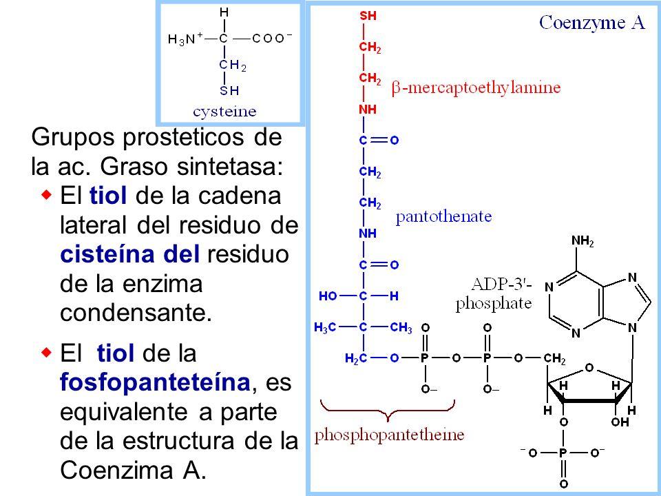 Grupos prosteticos de la ac. Graso sintetasa: El tiol de la cadena lateral del residuo de cisteína del residuo de la enzima condensante. El tiol de la