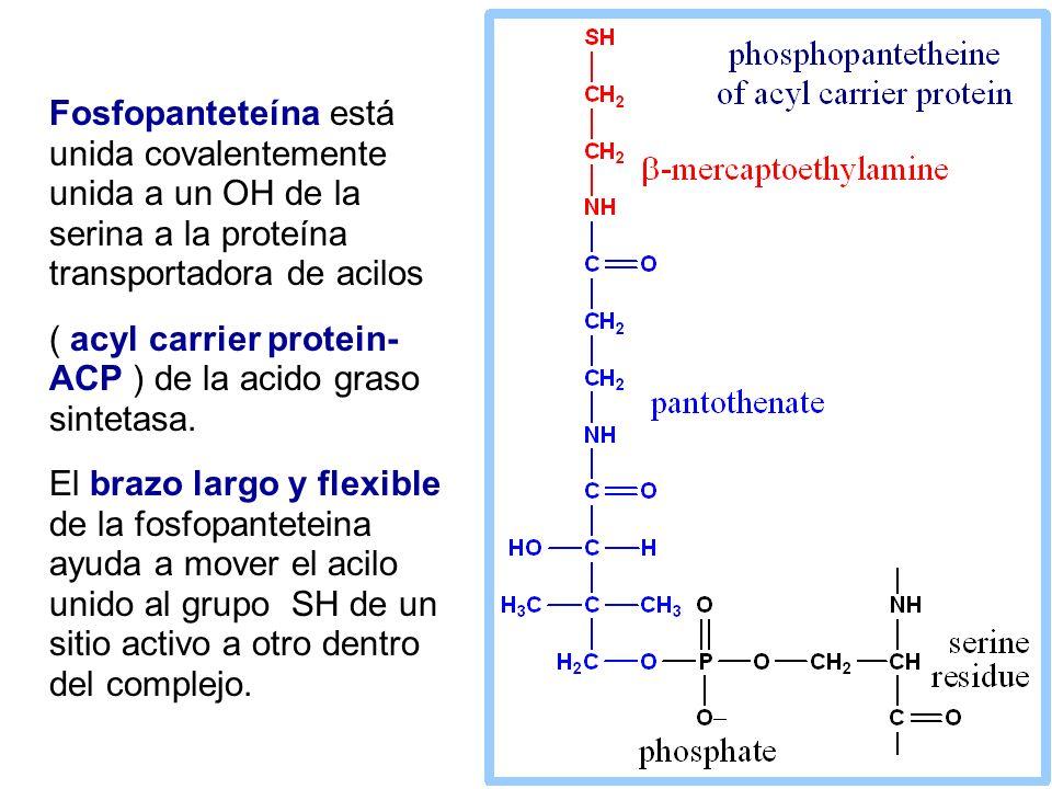 Fosfopanteteína está unida covalentemente unida a un OH de la serina a la proteína transportadora de acilos ( acyl carrier protein- ACP ) de la acido