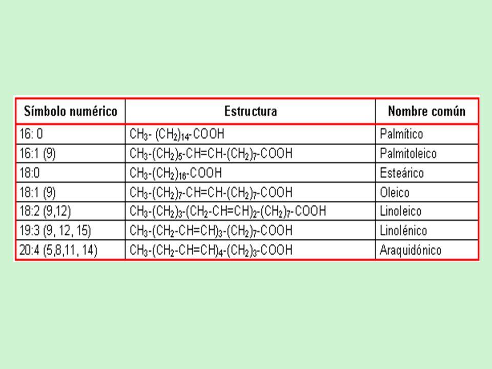 Procesamiento posterior de los acidos grasos Alargamiento en mitocondria y RE Introducción de dobles enlaces Cis Los eucariotas adicionan dobles enlaces en la mitad de la cadena a diferencia de los procariotas que lo hacen mientras el sitio de ataque está próximo al de fijación a la ACP En eucariotas la desaturación necesita de la incorporación de O 2 La poliinsaturación difiere en plantas y animales.