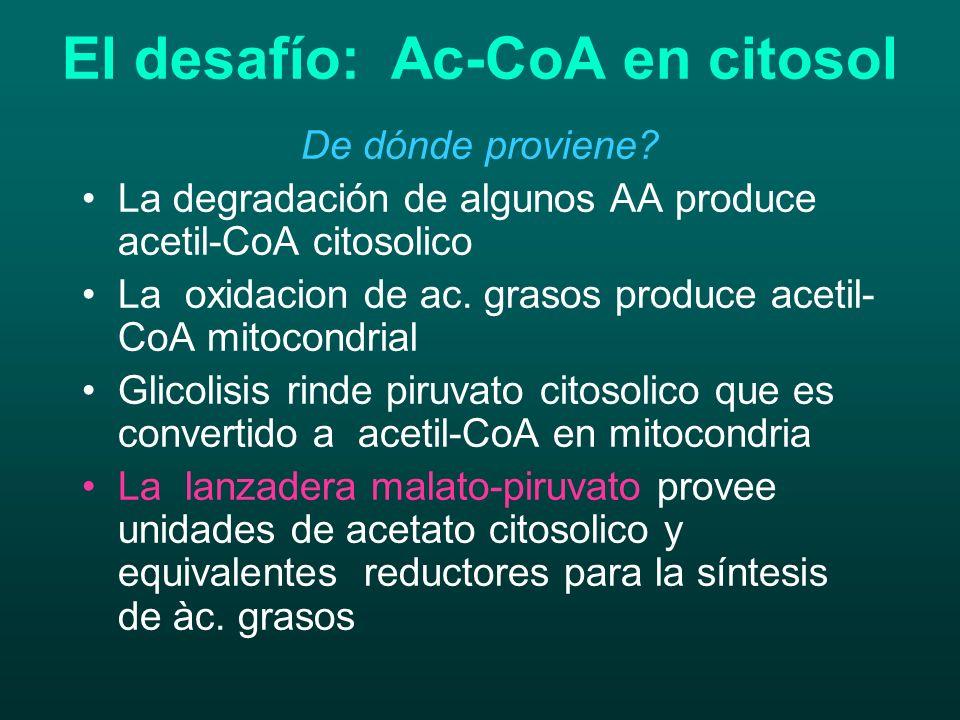 El desafío: Ac-CoA en citosol De dónde proviene? La degradación de algunos AA produce acetil-CoA citosolico La oxidacion de ac. grasos produce acetil-