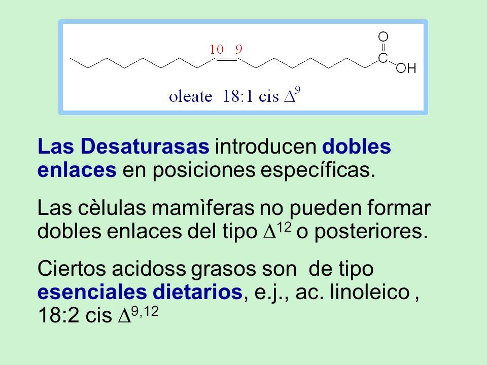 Las Desaturasas introducen dobles enlaces en posiciones específicas. Las cèlulas mamìferas no pueden formar dobles enlaces del tipo 12 o posteriores.