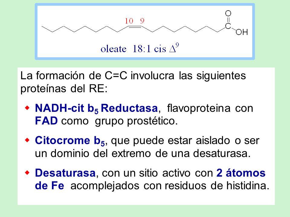 La formación de C=C involucra las siguientes proteínas del RE: NADH-cit b 5 Reductasa, flavoproteina con FAD como grupo prostético. Citocrome b 5, que