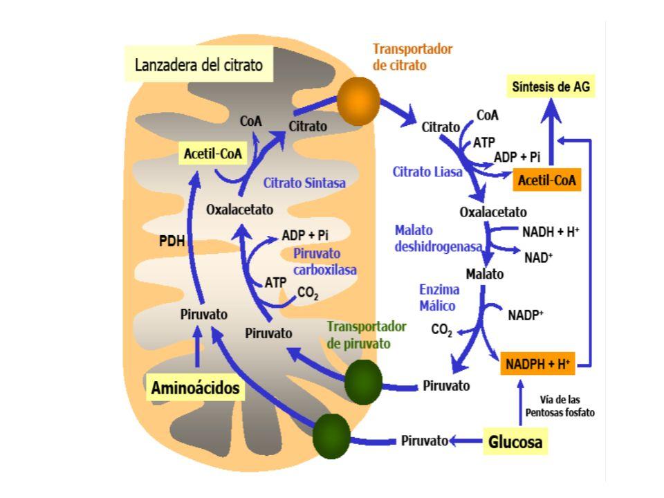 Acetil-CoA Carboxilasa (ACC) La carboxilacion de Acetil-CoA a malonil- CoA es el paso irreversible y crítico de la biosìntesis ACC usa bicarbonato, ATP y biotina La enzima eucarionte es una cadena polipeptídica con tres funciones: proteìna portadora de carboxilbiotina, biotina carboxilasa y transcarboxilasa