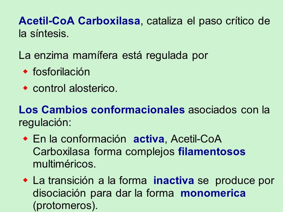 Acetil-CoA Carboxilasa, cataliza el paso crítico de la síntesis. La enzima mamífera está regulada por fosforilación control alosterico. Los Cambios co