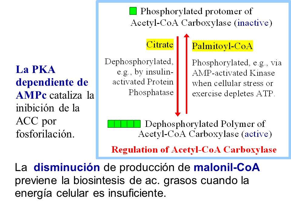 La disminución de producción de malonil-CoA previene la biosintesis de ac. grasos cuando la energía celular es insuficiente. La PKA dependiente de AMP